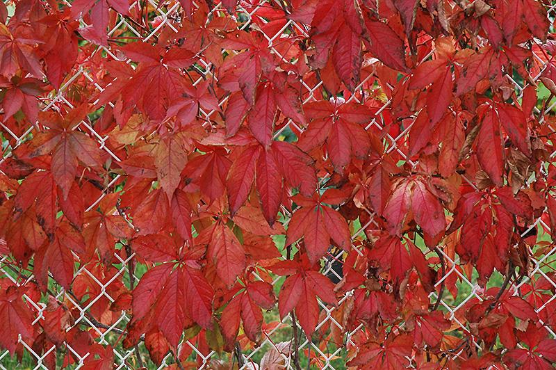 Englemann Ivy Parthenocissus Quinquefolia Var