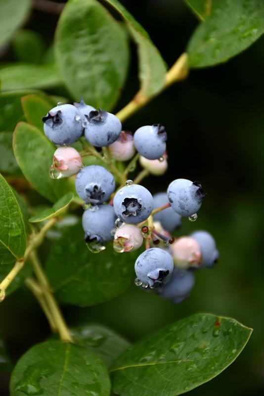 Jersey Blueberry (Vaccinium corymbosum 'Jersey') in Carleton