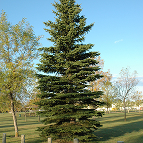 Evergreen Tree Photo