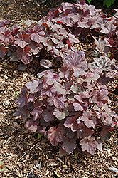 Ruby Veil Coral Bells (Heuchera 'Ruby Veil') at Glen Echo Nurseries